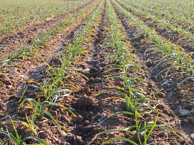 Francia e Italia apoyan la reivindicación de ANPCA y del sector del ajo español para la modificación de los códigos TARIC.